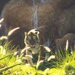 Die Kraft des Tigers