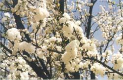 Baum_mit_Blueten